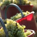 La Scolca Harvest